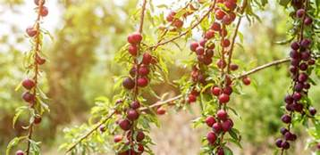 what gardening enthusiasts must know about purple leaf plum trees