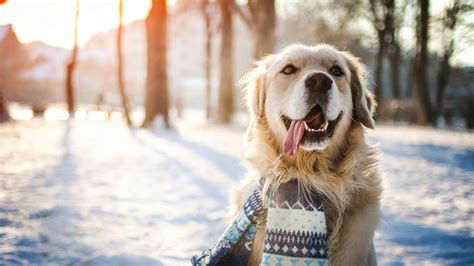 winter puppy winter safety tips for senior dogs dgp for pets
