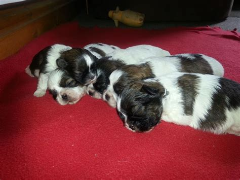 shih tzu puppies for sale birmingham shih tzu puppies for sale birmingham west midlands pets4homes