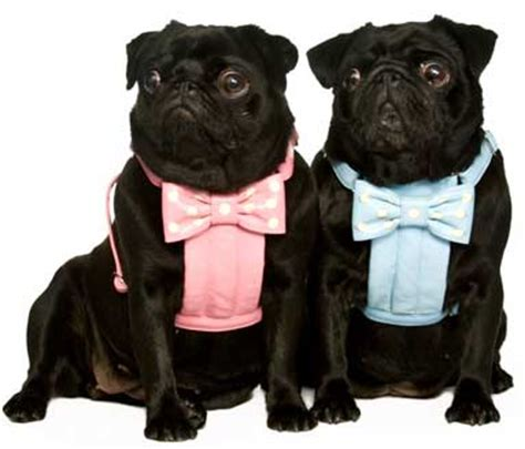 pug harness uk pugs