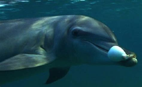 Dolphin Blowfish Detox Vidio by Dolphins Seem To Use Toxic Pufferfish To Get High Smart