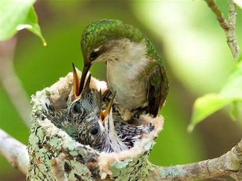 hummingbird feeding chicks gardens etc pinterest