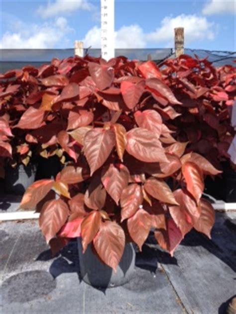 Acalypha Wilkesiana Blaze farms corp plantant