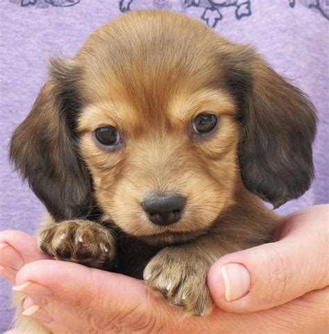 hair daschund puppies haired dachshund puppy