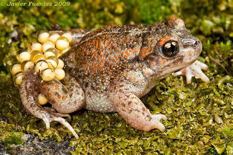 imagenes animales anfibios image gallery huevos anfibios