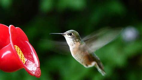 calliope hummingbird the smallest north american bird