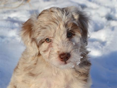 what are puppies should i buy an aussiedoodle