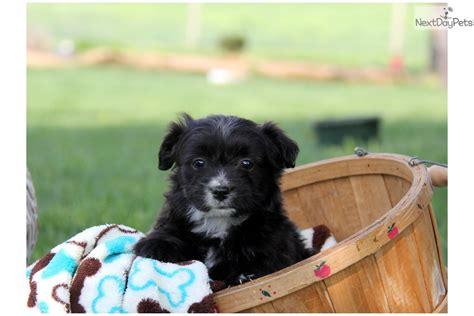 mini aussiedoodle puppies for sale near me aussiedoodle puppy for sale near lancaster pennsylvania 28d2cb55 ea31