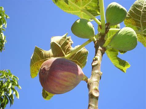 fruit x familia figo a figueira 233 uma 225 rvore frut 237 fera da fam 237 lia da
