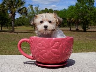 havanese puppies for sale in miami havanese puppies for sale florida buy puppies from breeders ta fl