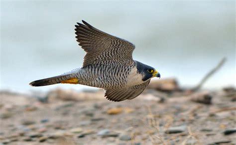 faucon pelerin falco peregrinus en images dinosoria