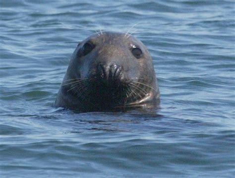 Sea Ls by Gray Seal Molting Season Ends