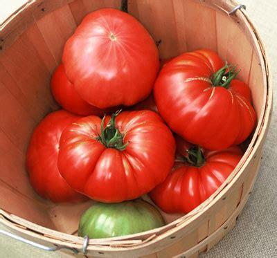 Benih Bibit Biji Robin Tomato Seeds jual bibit benih biji tomat beefsteak beefsteak tomato