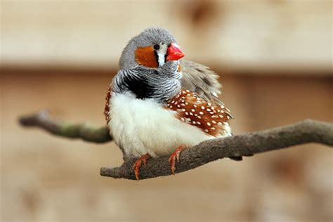 zebra finches as pets what to expect
