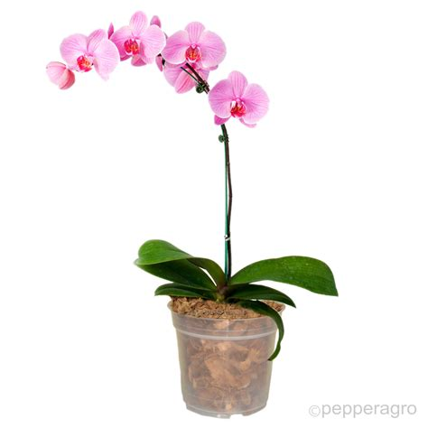 Orchid Planters Pots by Orchid Planter Pot X 6 Qty This Transparent Pot Specially