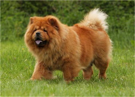chow chow puppies price chow chow facts for pictures puppies temperament breeders price animals adda