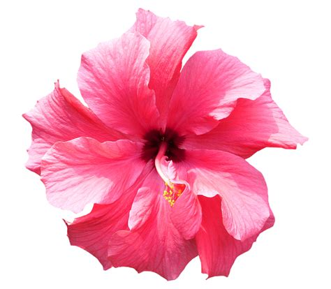 Bunga Poppy Pink Blossom free photo hibiscus pink tropical flower free image