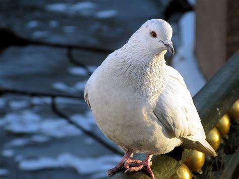 imagenes de palomas blancas gratis im 225 genes de p 225 jaros palomas blancas