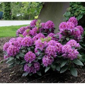 proven winners  gal dandy man purple rhododendron colorchoice shrub rhoprc  home depot