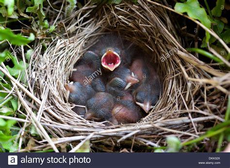 baby birds sparrow nest fledglings nest egg chicks stock