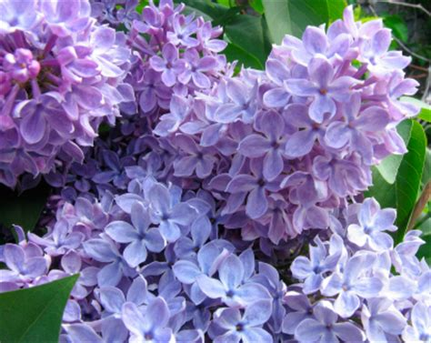 5 great flowering shrubs for the new england climate