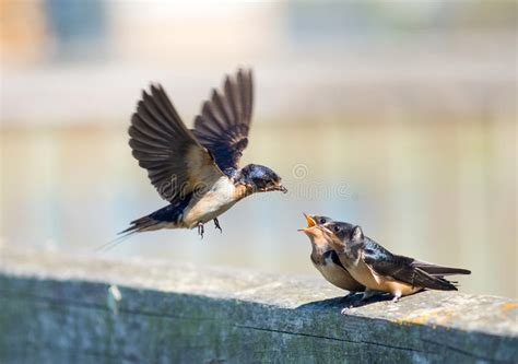 barn swallow feeding time stock image image of swallows