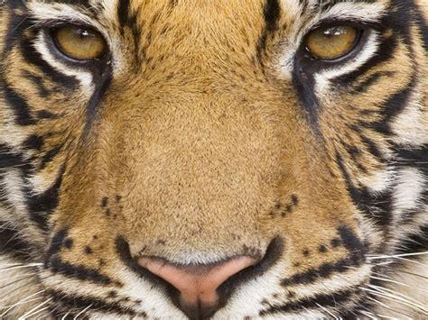 wallpaper alam dan hewan nature wallpaper hewan harimau dan macan tutul