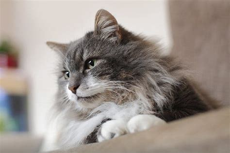 can a recover from kidney failure kidney disease in cats symptoms causes diagnosis treatment recovery management