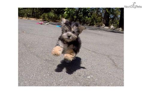 yorkie poo puppies bay area calvin yorkiepoo yorkie poo puppy for sale near san francisco bay area california