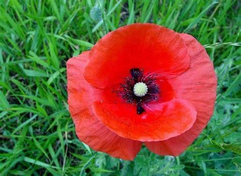 il papavero fiore papavero rosso fiori di co caratteristiche papavero