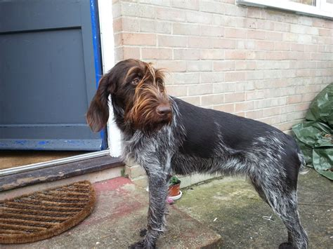 drahthaar puppies for sale lovely drahthaar for sale shaftesbury dorset pets4homes