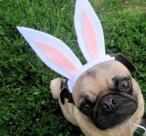 easter pug getting in the easter spirit pug style suzanne carillo