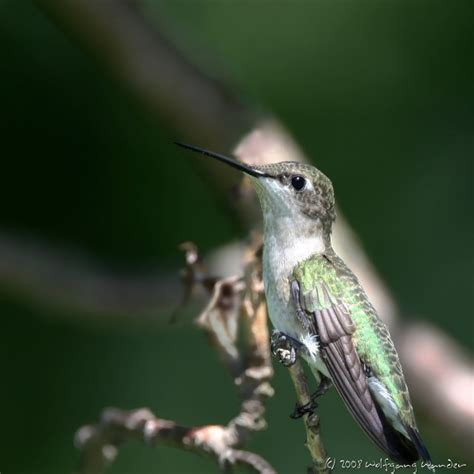 ruby throated hummingbird archilochus colubris photo