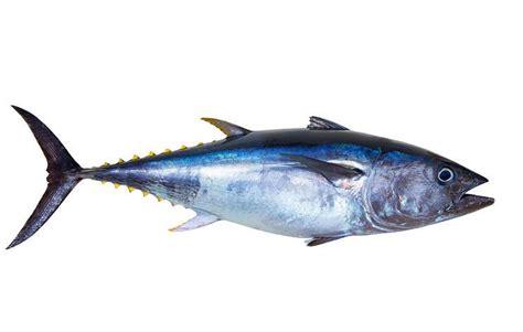 pengertian ikan pisces ciri jenis klasifikasi  contoh