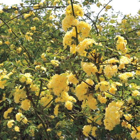 Climbing Yellow yellow climbing roses www pixshark images
