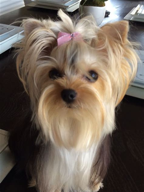 hair cut for tea cup yorkies best 25 yorkshire terrier haircut ideas on pinterest