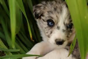 ksl classifieds dogs blue merle australian shepherd border collie cross in car interior design
