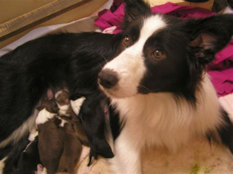 puppy breeders in ma border collies border collie breeder worcester massachusetts