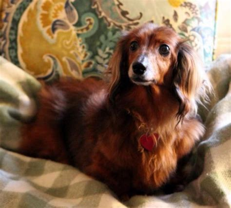 petfinders dogs for adoption meet goldie a petfinder adoptable dachshund killingworth ct available for