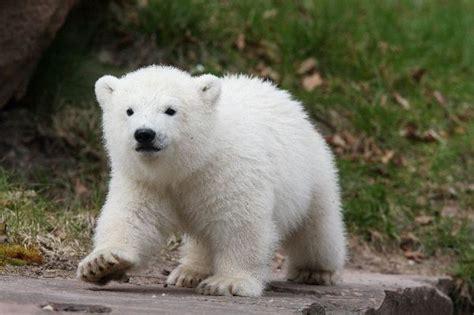 imagenes de osos wallpaper imagenes de osos polares 187 osopolarpedia