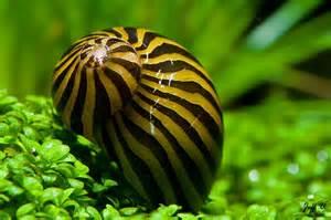 Tank, Freshwater Aquarium Snails, Freshwater Snail, Aquarium Vivarium