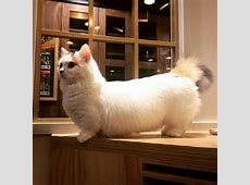 Best 25+ Munchkin kitten ideas on Pinterest | Munchkin cat ... Fluffiest Kittens In The World