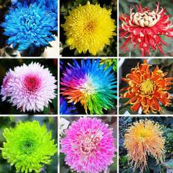 sale 22 colors available chrysanthemum seeds