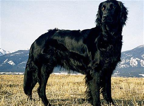 can golden retrievers be black black
