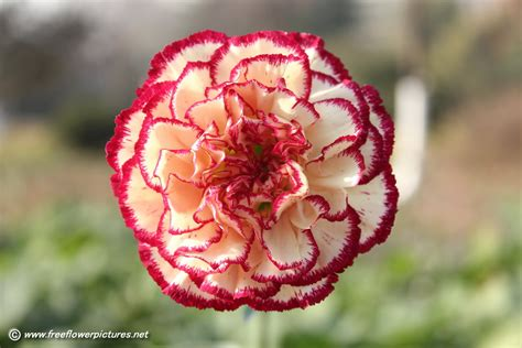 carnation flower carnation flower picture flower pictures 4255