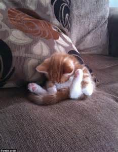 An orange and white kitten slumbers while folded in half on the couch