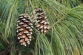 white pine cone white pine cone positively allegan mi