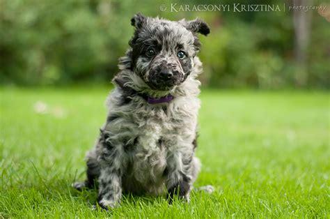 mudi puppies for sale f litter k 246 ves b 233 rci bety 225 r mudi kennel