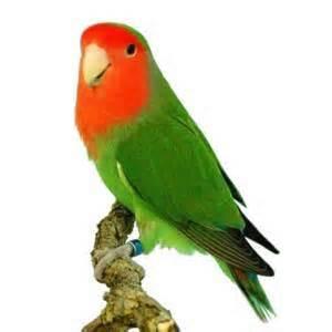 alimentazione roseicollis uccelli e volatili page 14