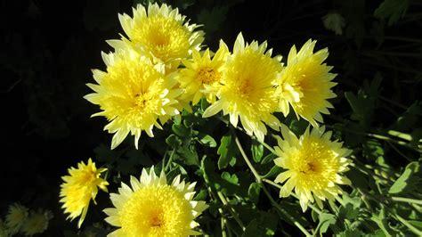 gambar alam menanam dandelion herba musim gugur